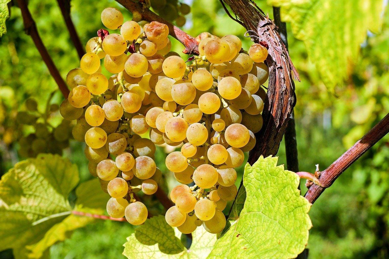 vignes muscat de rivesaltes