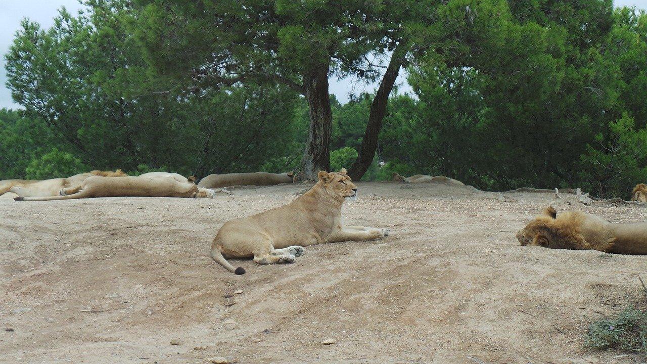 lion parc sigean